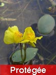 Utricularia_australis_www_ruhr-uni-bochum_de-copie1