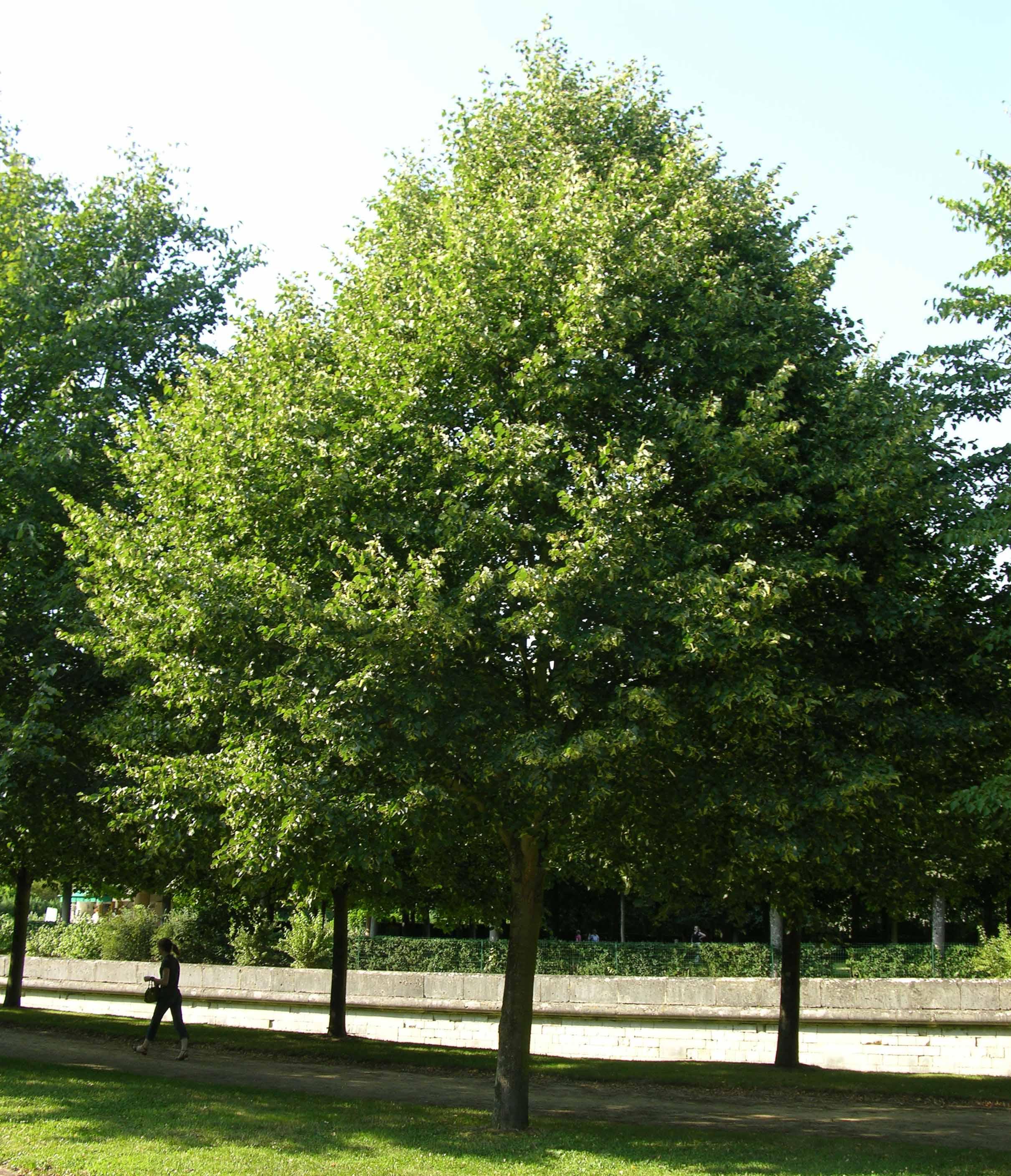 Les arbres d 39 alignement caue 60 - Tilleul a grandes feuilles ...